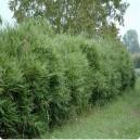 Bambou pour haie (pot de 5 litres)
