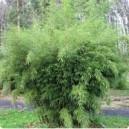 Bambous Cespiteux (pot de 20 litres)