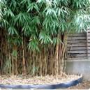 Bambous moyens (pot de 5 litres )