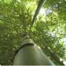Bambous Géant (pot de 50 litres)